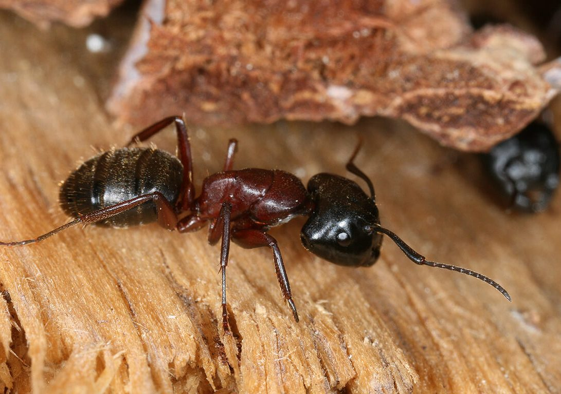 wood-destroying insects around the home include carpenter ants
